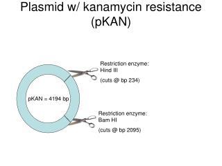 Plasmid w/ kanamycin resistance (pKAN)