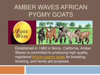 Amber Waves African Pygmy Goats