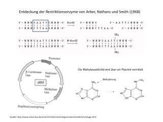 Entdeckung der Restriktionsenzyme von Arber, Nathans und Smith (1968)