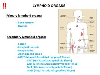 Prim a r y  lymphoid organs : 	-  B one marrow 	-  T hymus