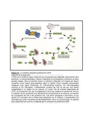 Figure 13 :  Le système ubiquitine protéasome (UPS)