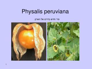 Physalis peruviana פרי חדש בדרכו אל הארץ.