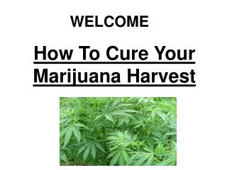 How To Cure Your Marijuana Harvest