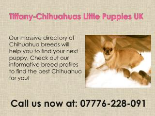 Tiffany-Chihuahuas Little Puppies UK