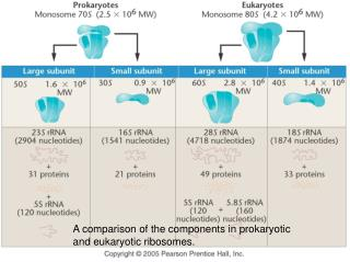 A comparison of the components in prokaryotic and eukaryotic ribosomes.