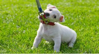 Dog Training - House Training Your New Puppy