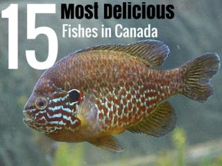 15 Most Delicious Fishes in Canada