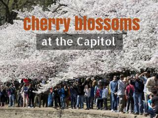 Cherry blossoms at the Capitol