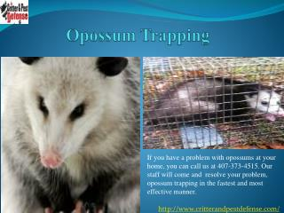#Opossum Trapping