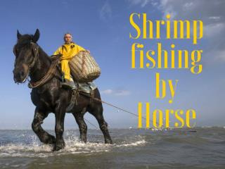 Shrimp fishing by Horse