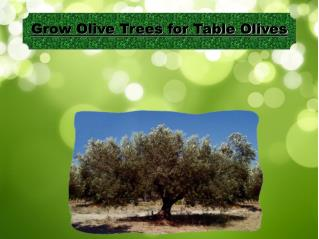 Grow Olive Trees for Table Olives