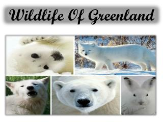 Wildlife Of Greenland