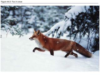 Figure 44.0  Fox in snow