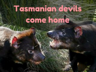 Tasmanian devils come home