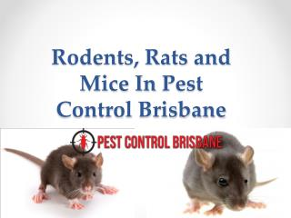 Rodents, Rats and Mice In Pest Control Brisbane