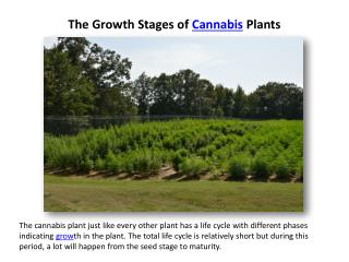The Growth Stages of Cannabis Plants