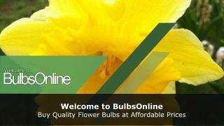Buy Hyacinth and Tulip Bulbs Online in Australia