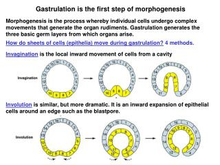Gastrulation is the first step of morphogenesis