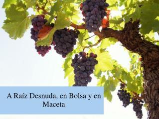A Raíz Desnuda, en Bolsa y en Maceta