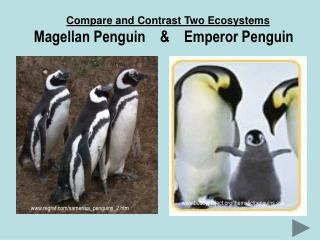 Compare and Contrast Two Ecosystems Magellan Penguin    &    Emperor Penguin