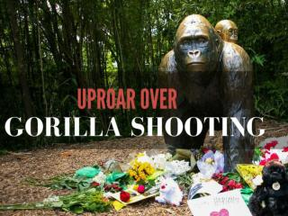 Uproar over gorilla shooting