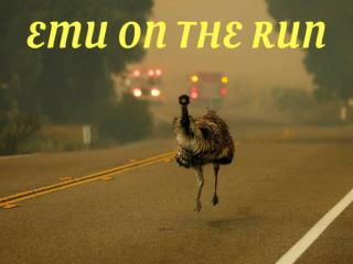 Emu on the run