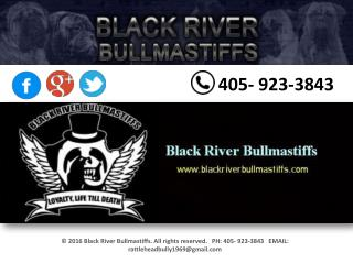 Black River Bullmastiffs