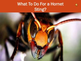 What To Do For a Hornet Sting?