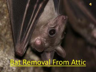 Bat Removal From Attic