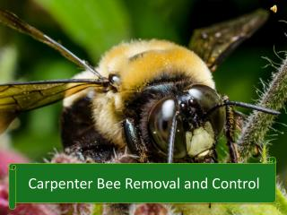 Carpenter Bee Removal and Control