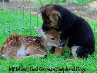 JulieMittelwest - Mittelwest Best German Shepherd Dogs