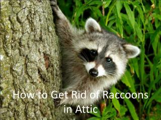 How to Get Rid of Raccoons in Attic
