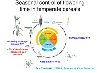 Seasonal control of flowering time in temperate cereals