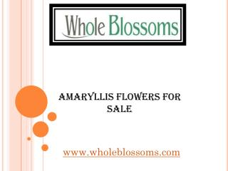 Amaryllis Flowers For Sale - www.wholeblossoms.com