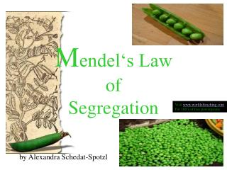M endel's Law  of  Segregation