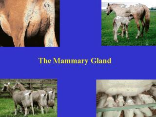 The Mammary Gland
