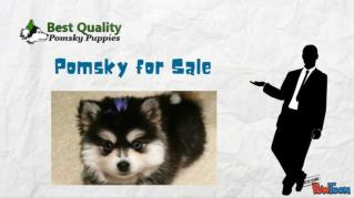 Best quality pomsky for sale in USA