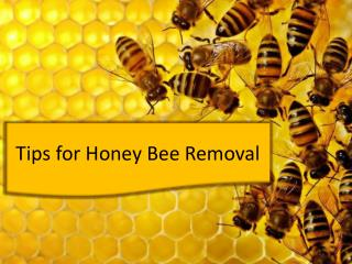 Tips for Honey Bee Removal