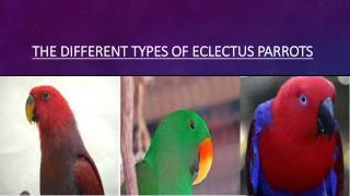 Eclectus Parrots - variou Types