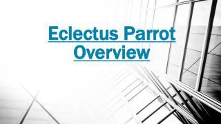 Eclectus Parrot - Hardy Birds