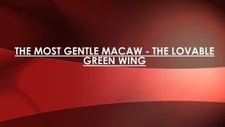 The Lovable Green Wing - The Most Gentle Macaw