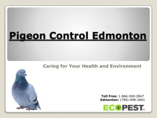 Pigeon Control Edmonton | Stay Protected with Professionals
