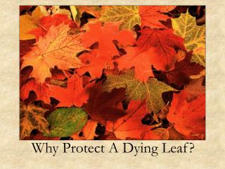 Why Protect A Dying Leaf?