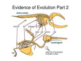 Evidence of Evolution Part 2