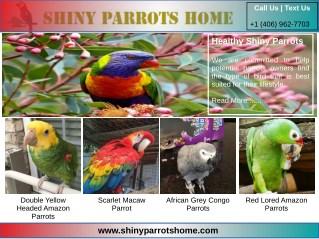 Eclectus Parrots For Sale