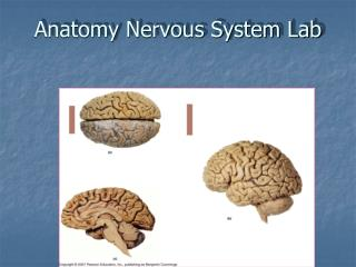 Anatomy Nervous System Lab