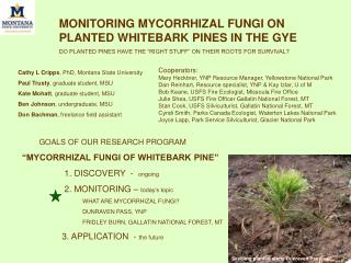 "MONITORING MYCORRHIZAL FUNGI ON PLANTED WHITEBARK PINES IN THE GYE DO PLANTED PINES HAVE THE ""RIGHT STUFF"" ON THEIR ROOT"