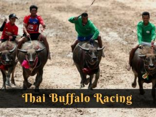 Thai buffalo racing