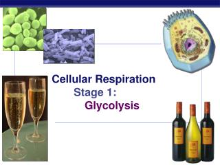 Cellular Respiration Stage 1: Glycolysis