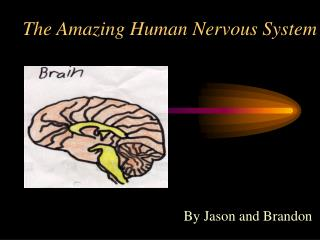 The Amazing Human Nervous System